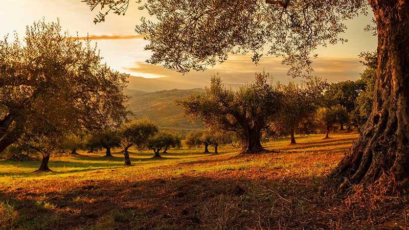 zeytin yaprağı - Sindirim ve Bağışıklık Arttırmak İçin Evde Yapılabilecek Bitkisel Çaylar