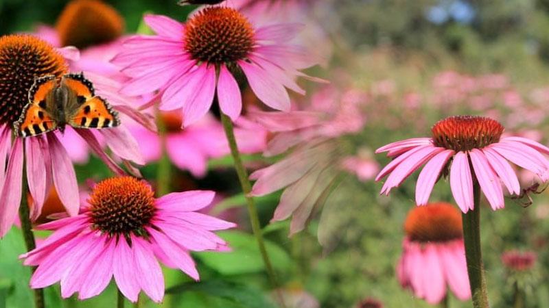 ekinezya kullanimi soguk alginligi kanser grip kis sagligi - Kış Sağlığı İçin şifalı Bitkiler Grip Soğuk Algınlığı ateş depresyon...